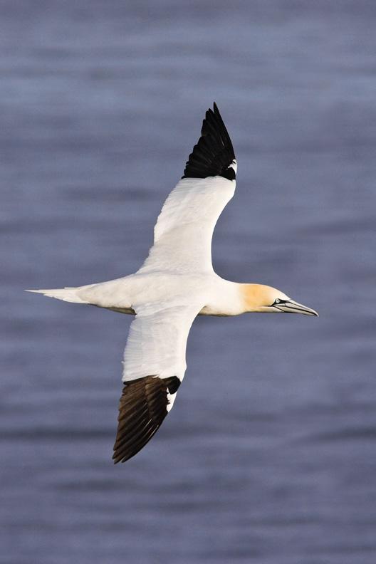 Northern Gannet Flying Over the Ocean, Delaware Bay, United States
