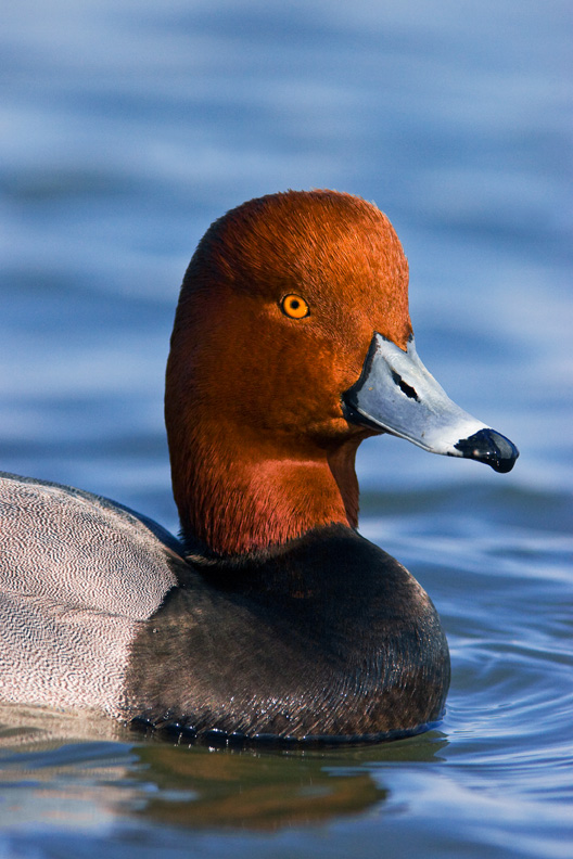 Male Redhead Duck, Choptank River, Maryland, United States.