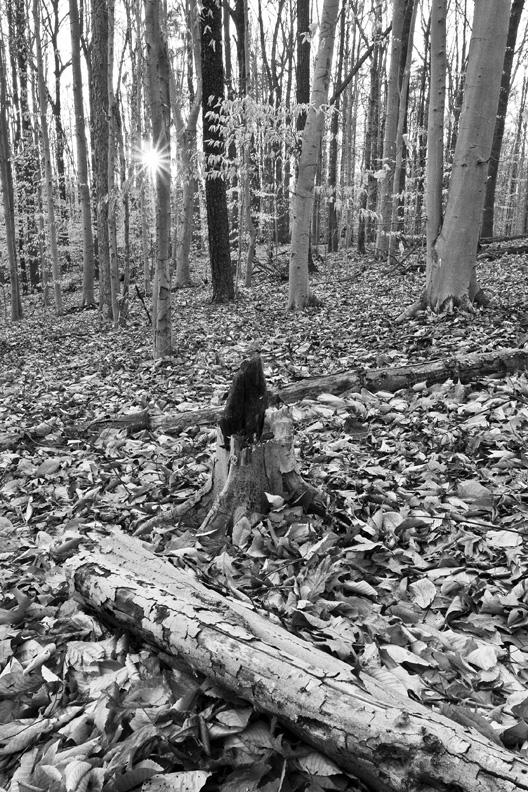 Sunburst in Beech Forest, Scott's Run Nature Preserve, Virginia, United States.