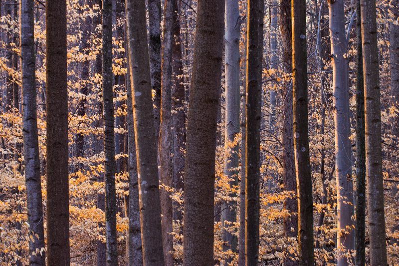Last Light on a Beech Forest at Scott's Run Nature Preserve, Virginia, United States.