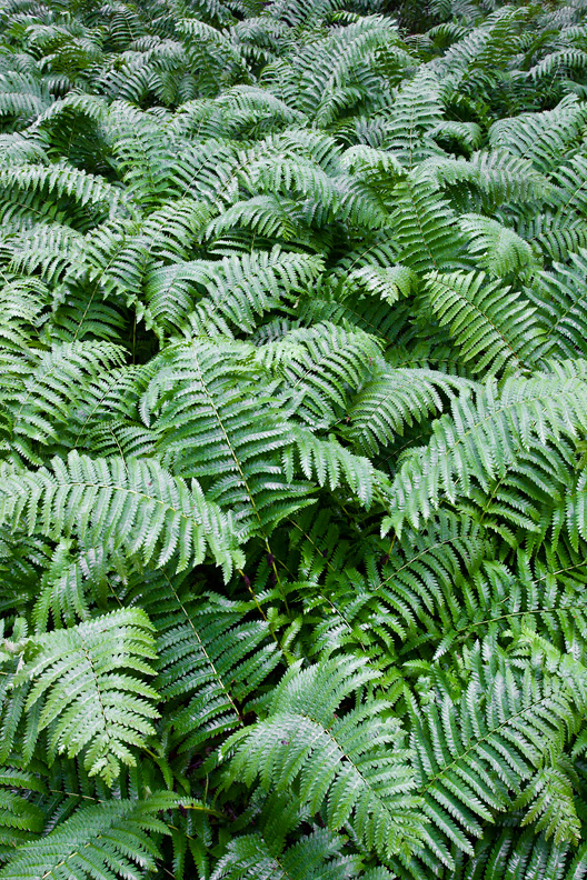 Ferns Covering Forest Floor, Shenandoah National Park, Virginia.
