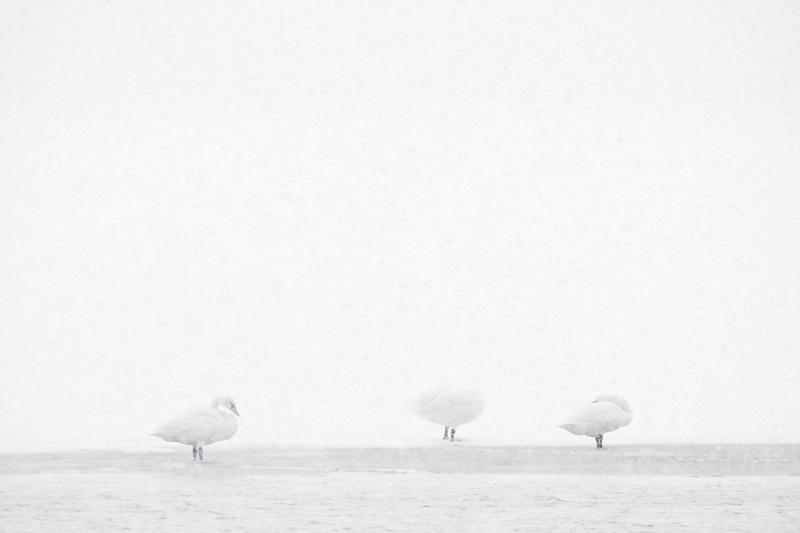 Tundra Swans in Whiteout, Oneida Lake, Bernhard's Bay, New York