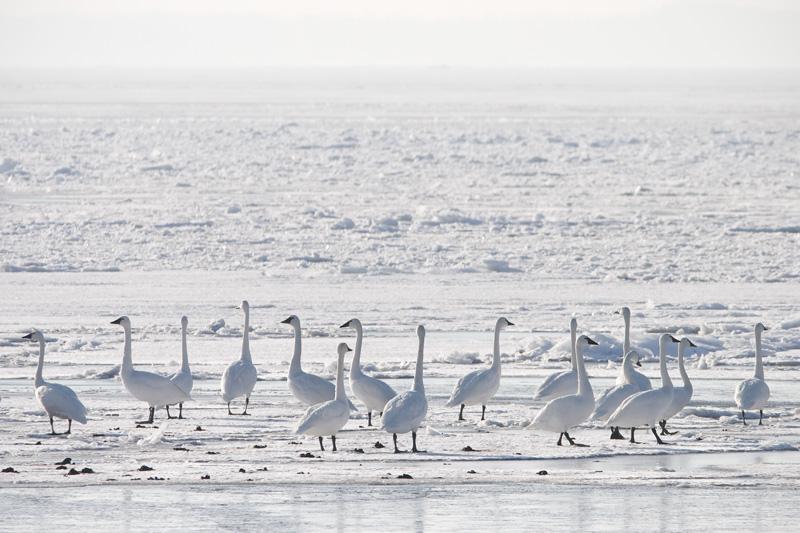 Tundra Swans on Ice, Oneida Lake, Bernhard's Bay, New York