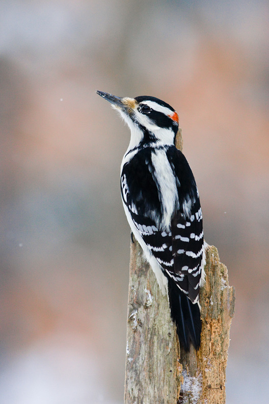 Male Hairy Woodpecker, Vienna, New York