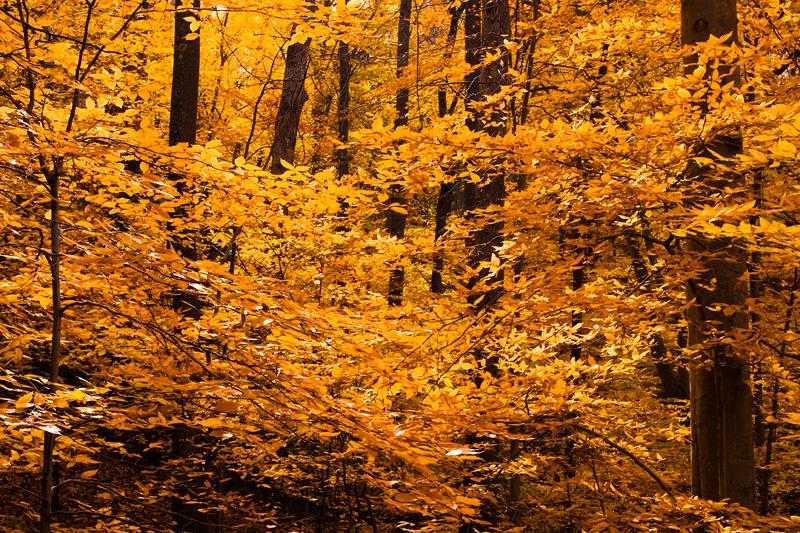 Autumn Beech Forest at Scott's Run Nature Preserve, Virginia.