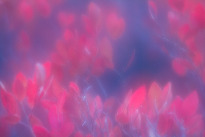 """""""Dying Flames"""" - Blueberry bush at dusk. Focus shifted during a single exposure.Dolly Sods, West Virginia."""