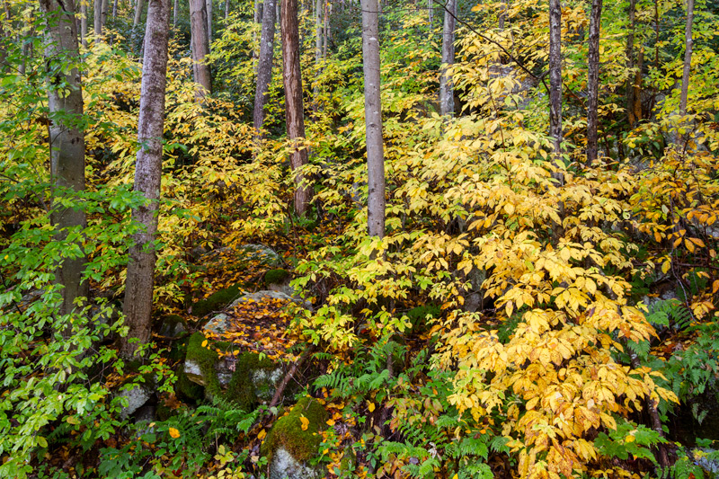 """""""Mountain Music"""" - A tapestry of trunks and fall foliage, New River Gorge National River, West Virginia."""