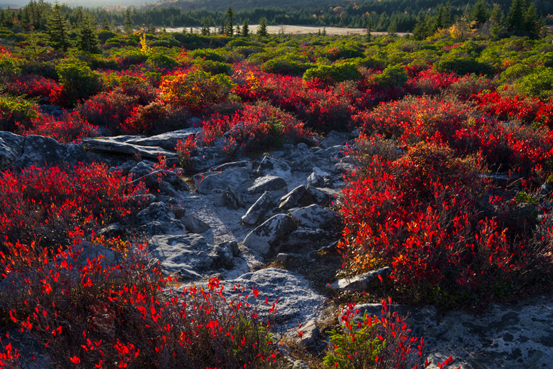 """""""Wavelengths"""" - Backlit blueberry bushes and foliage, Dolly Sods, West Virginia."""