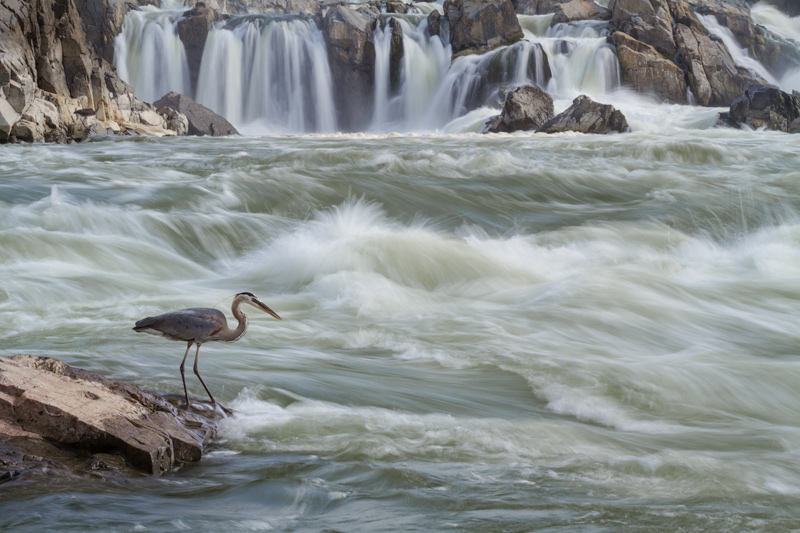 """Doubt Creeps"" - Great blue heron fishing along the Potomac River, Great Falls National Park, Virginia."
