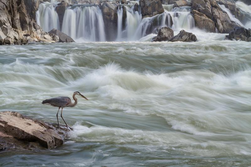 """Doubt Creeps"" - Great blue heron fishing along the Potomac River, Great Falls National Park, Virginia."
