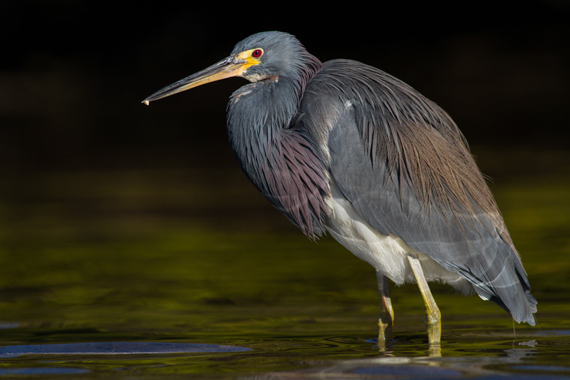 Tricolored Heron against Mangroves in Shadow, Fort De Soto Park, Florida.