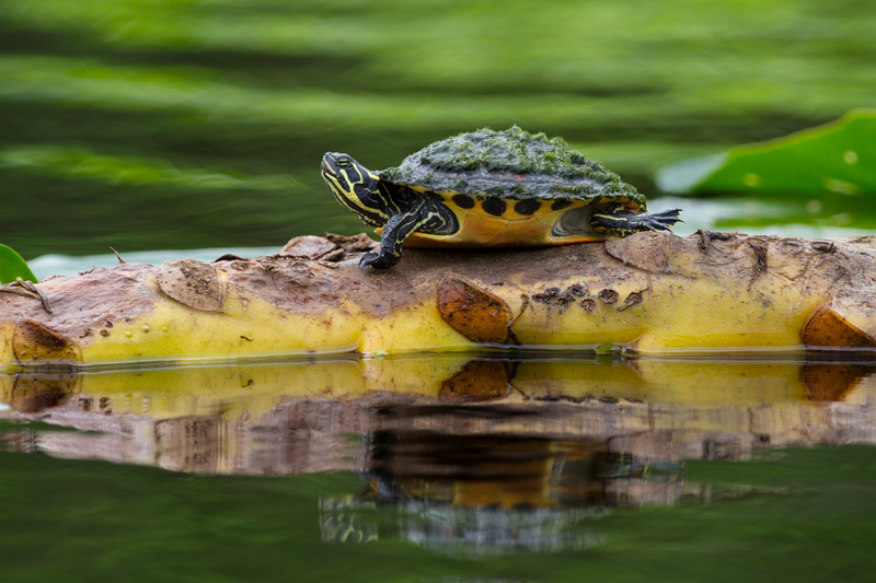 """Wise Beyond Years"" - Florida redbelly turtle basking, Blue Spring State Park, Florida."