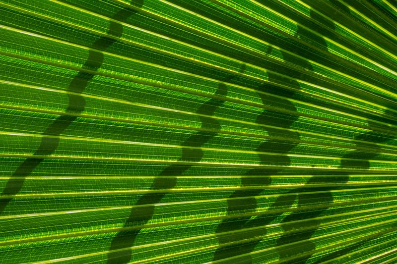 """Calligraphy"" - Backlit palmetto leaf, Florida."