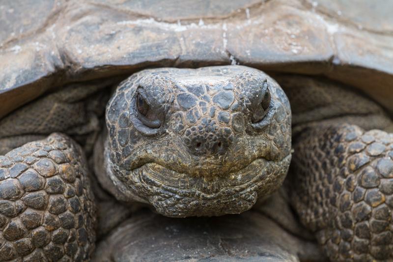 """Gus"" - Portrait of a gopher tortoise, Florida."