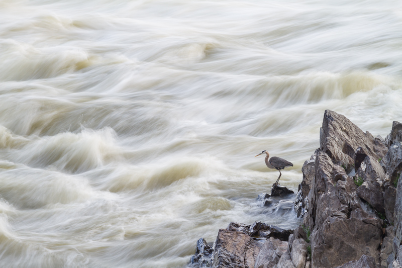 """Ghostly Echoes"" - Great blue heron fishing along the Potomac River, Great Falls National Park, Virginia."