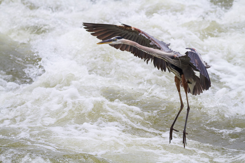 """Landing Formation"" - Great blue heron coming in for a landing over the rapids of the Potomac River in Great Falls National Park, Virginia."
