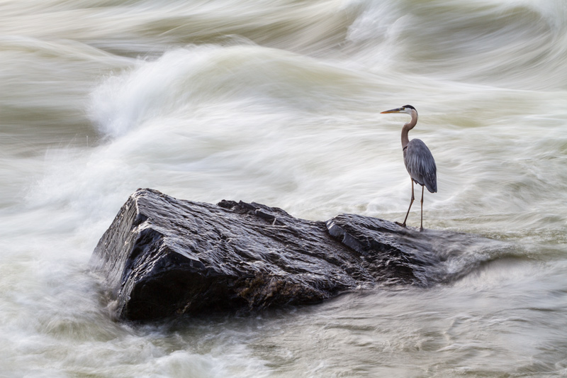 """Life Passes By"" - A great blue heron fishing from a solitary boulder in the Potomac River. Great Falls National Park, Virginia."