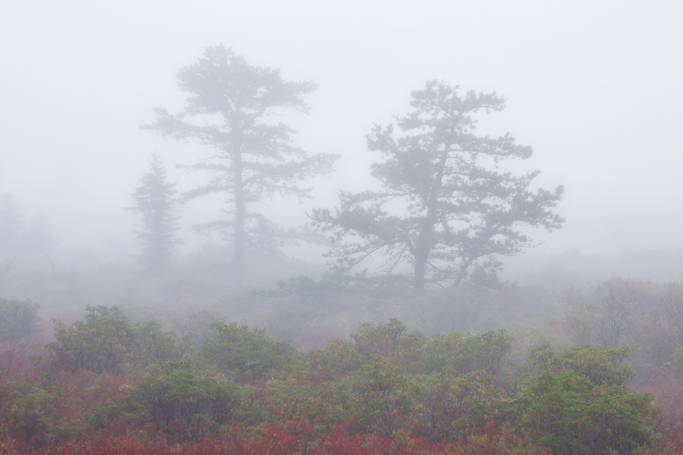 """Autumn Bonsai"" - Three trees on a foggy autumn day, Dolly Sods Wilderness, West Virginia."