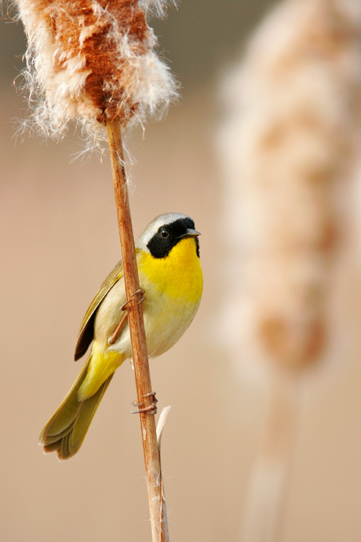 """""""Denizen of the Marsh"""" - A brightly colored male common yellowthroat perched on a cattail in spring. Huntley Meadows Park, Virginia."""