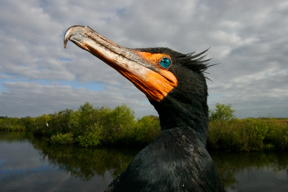 """""""In your Face"""" - A wide angle photograph of a double-crested cormorant. Everglades National Park, Florida."""