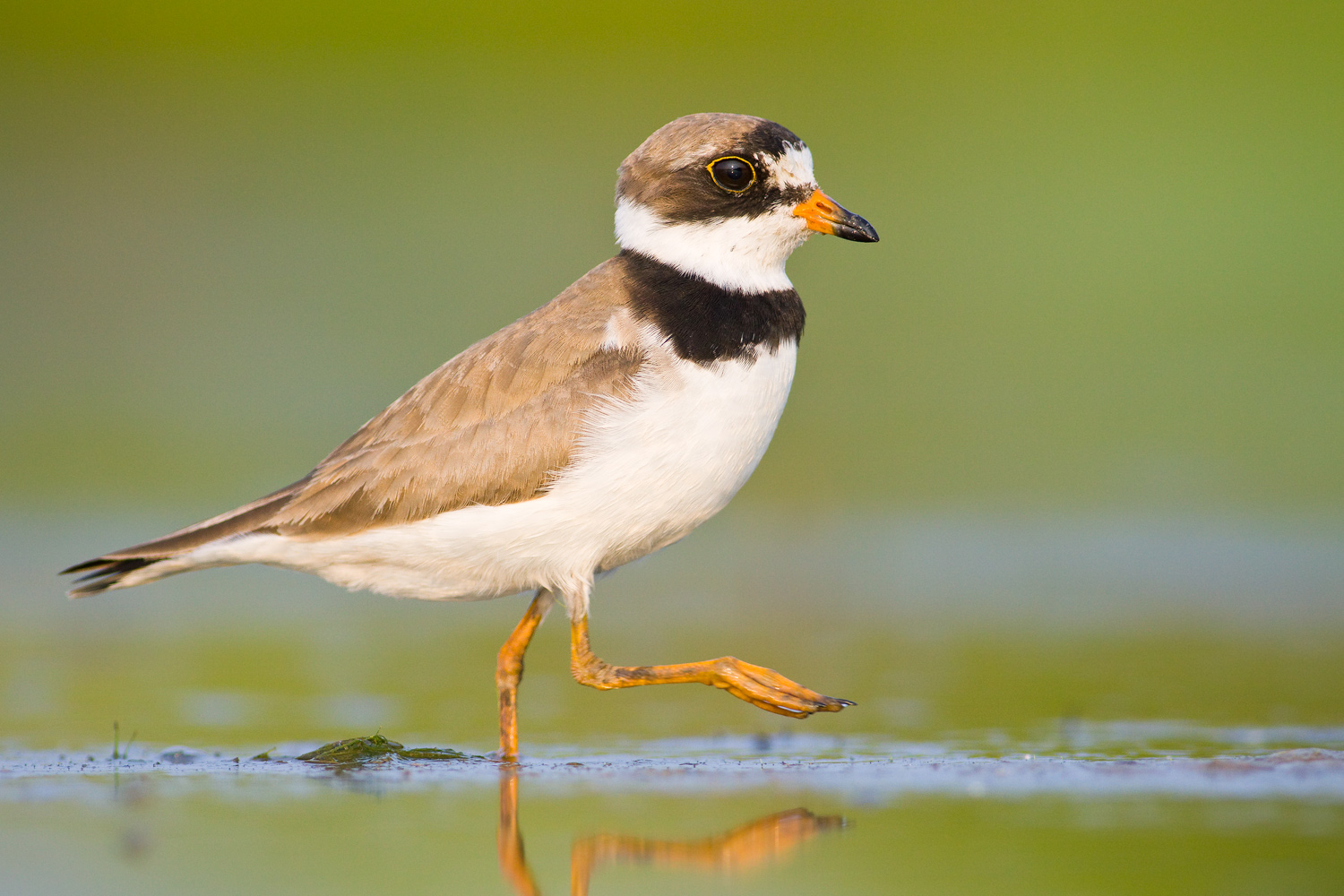 """""""Marching Band"""" - A semipalmated plover walking through vivid reflections. Ohio."""