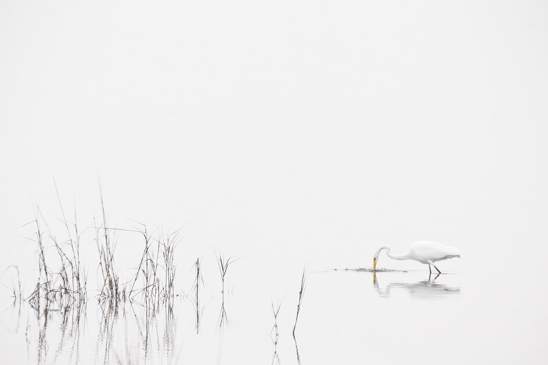 """High Key Egret"" - A lone great egret fishing before a storm arrives. Chincoteague National Wildlife Refuge, Virginia."