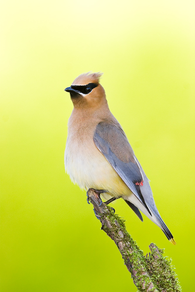 """""""Cedar Waxwing on Mossy Branch"""" - A cedar waxwing perched on a mossy branch against a bright green background. Upstate New York."""