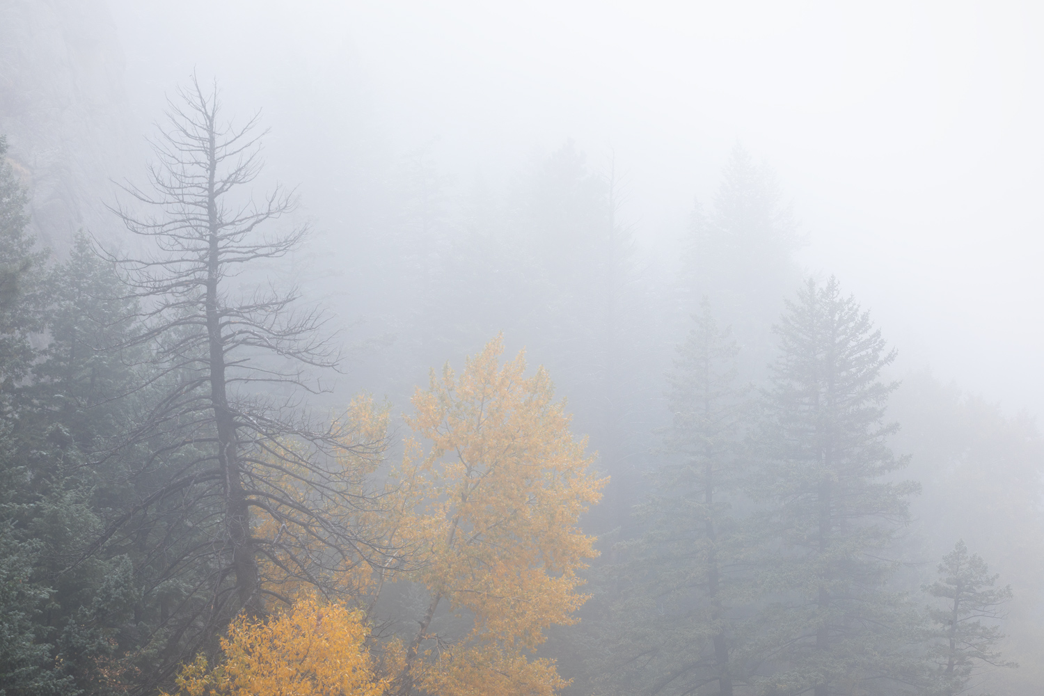 """Blaze in the Canyon"" - A lone yellow cottonwood glows among evergreen trees during a foggy autumn day in Boulder Canyon, Colorado."