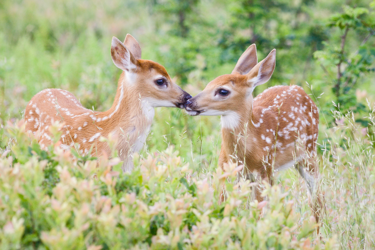 white-tailed-deer-fawn-twins.jpg