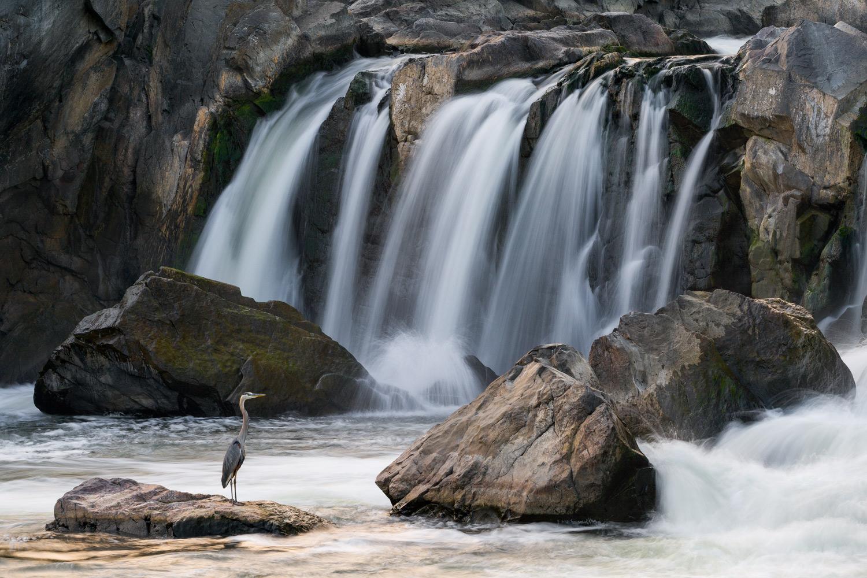 great-blue-heron-potomac-river-waterfall.jpg