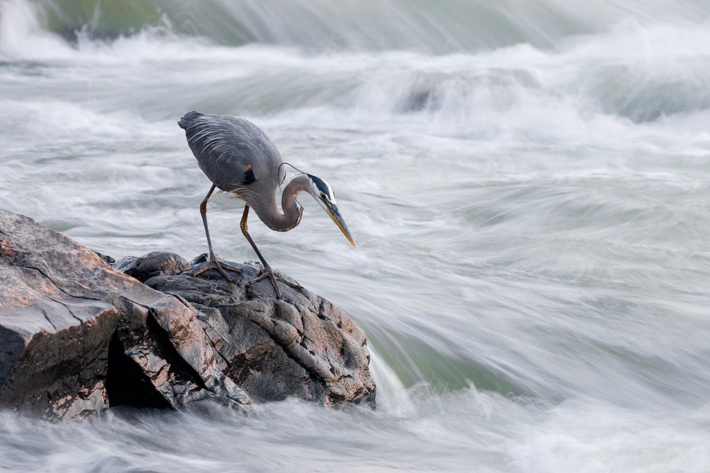 great-blue-heron-hunting-patiently.jpg