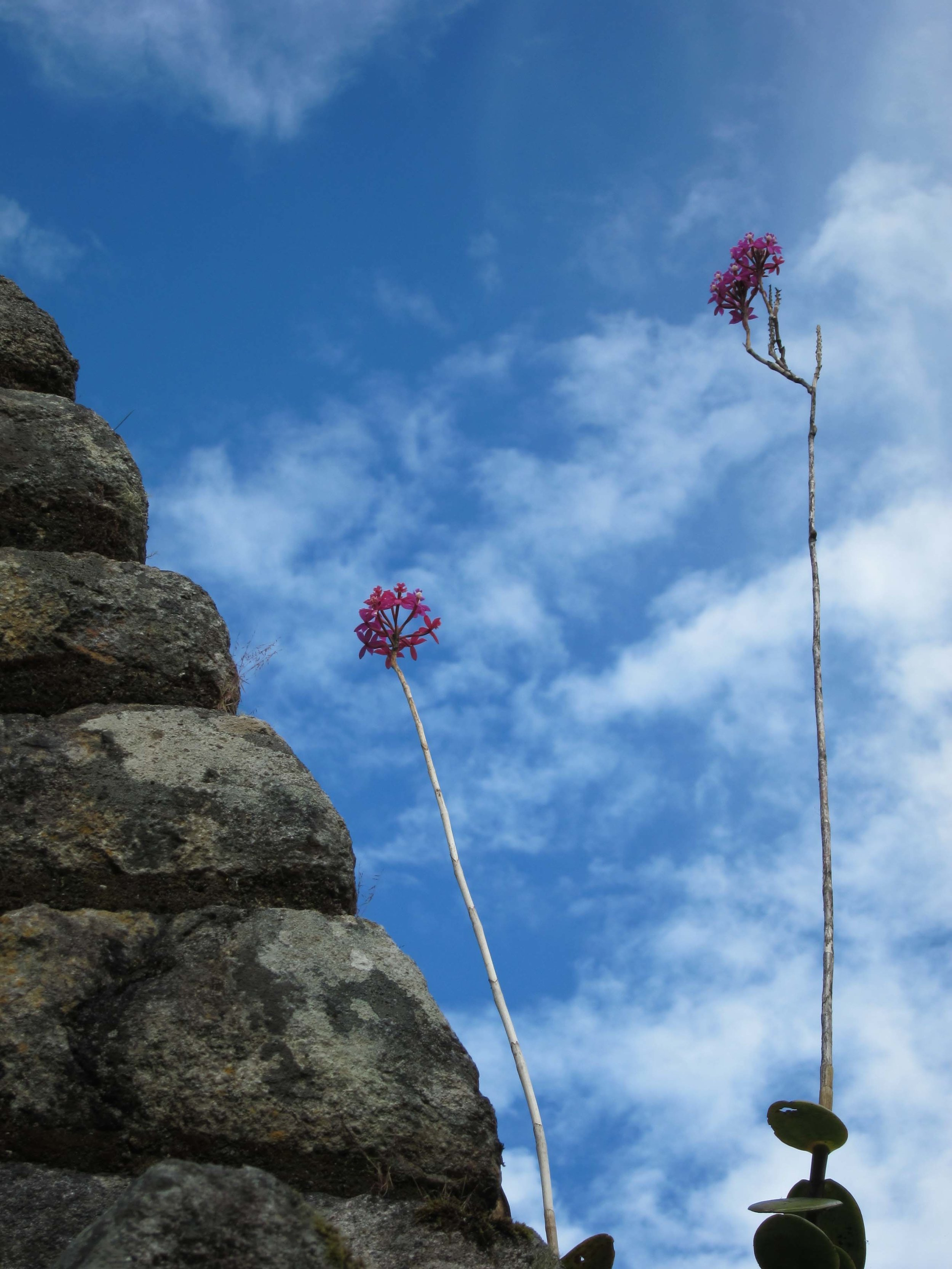 Epidendrum secundum, Wiñay Wayna