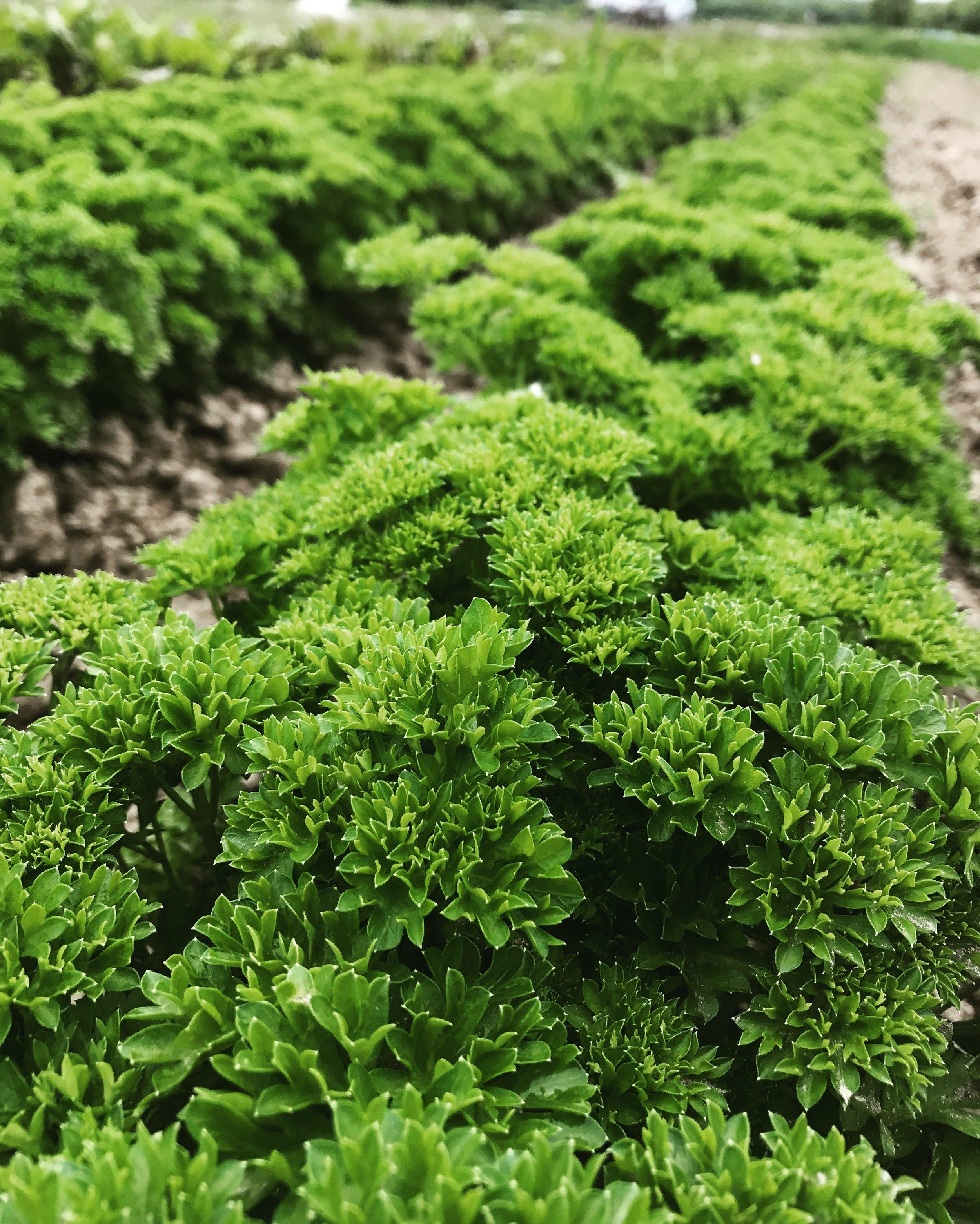 localorganicherbfarmburlingtonvermontpitchforkfarm.jpg