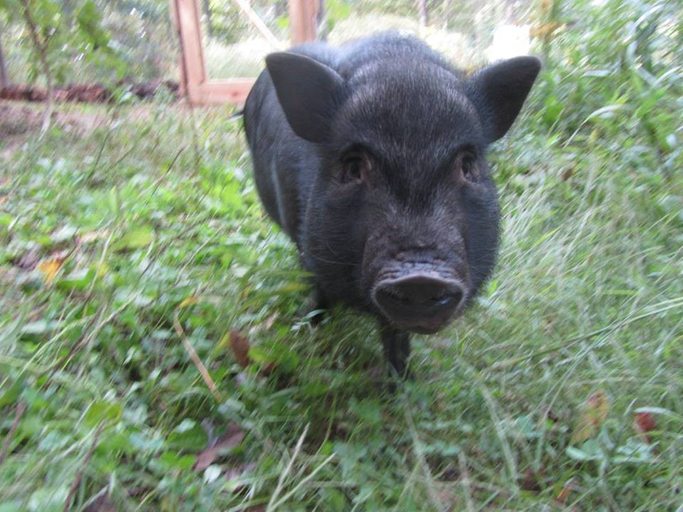 Wild-Earth-Farm-and-Sanctuary-pigs-14.jpg