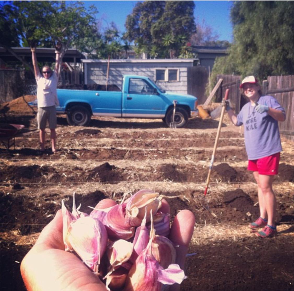 Planting garlic right before Halloween 2013