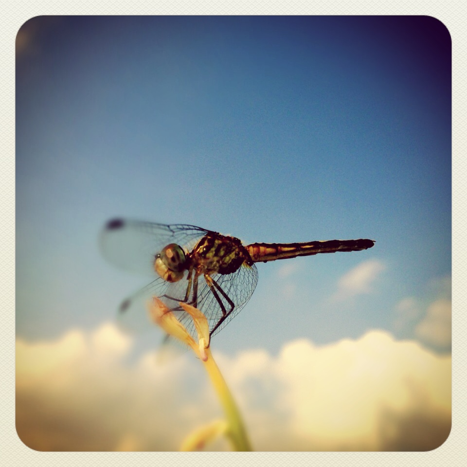 DRAGONFLY: Maturity & Depth of Character, Poise & Powerful, Defeat of Self Created Illusions, Lives In The Moment, Opening of Ones Eyes
