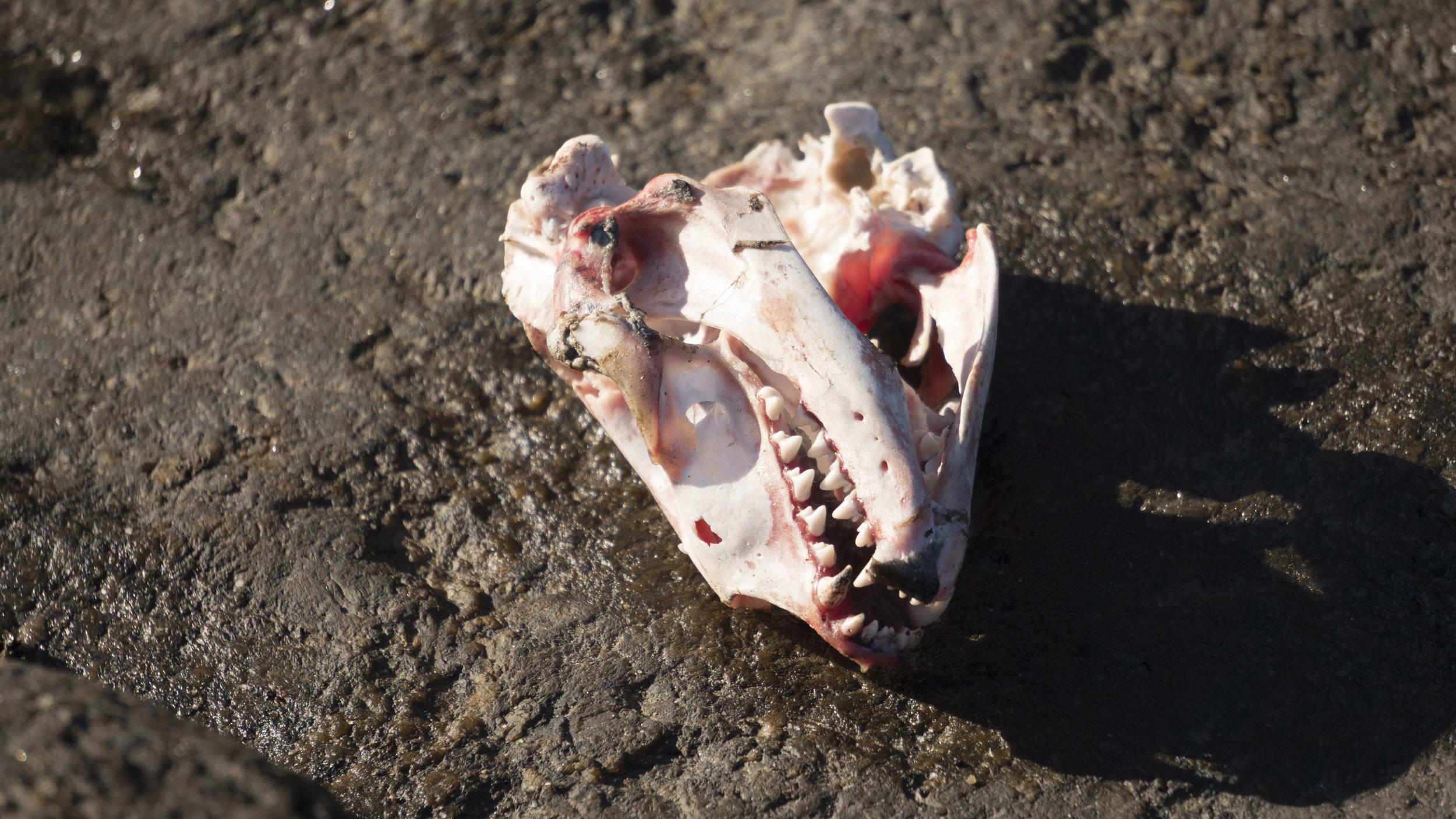 Seal Skull.jpg