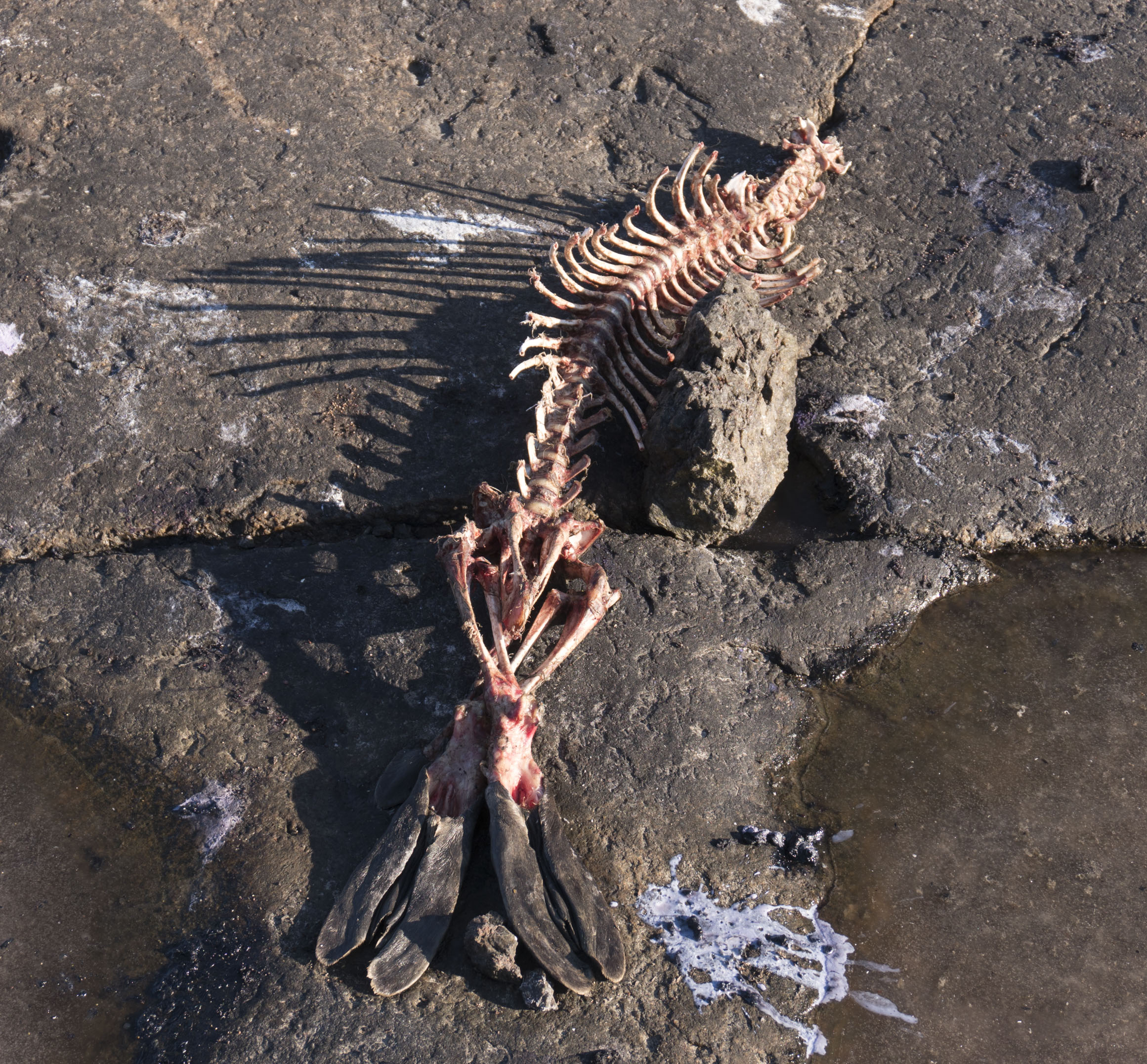 Seal Skeleton.jpg