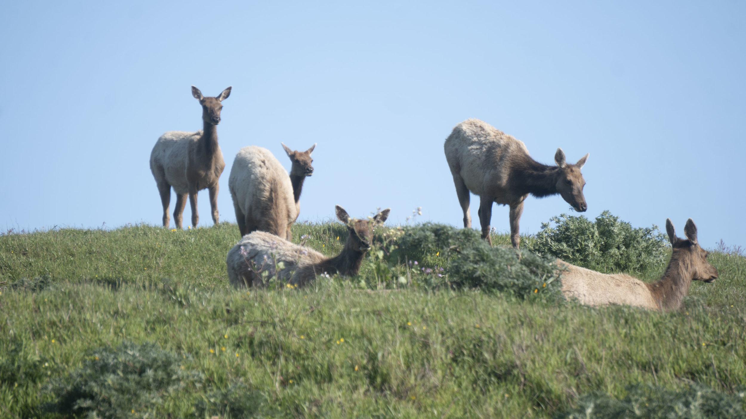 Cow Elk 1.jpg