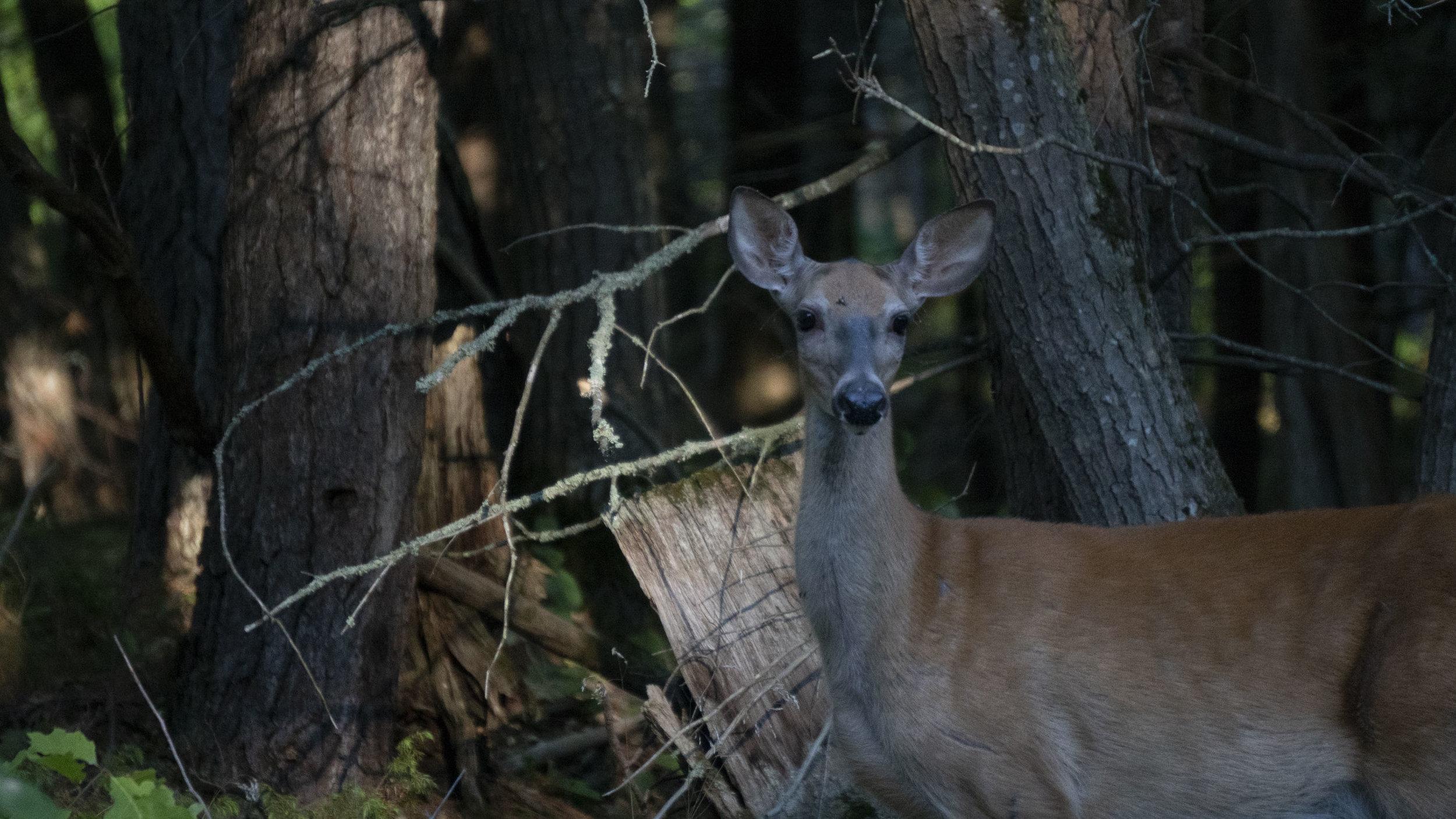 Parry Sound Deer.jpg
