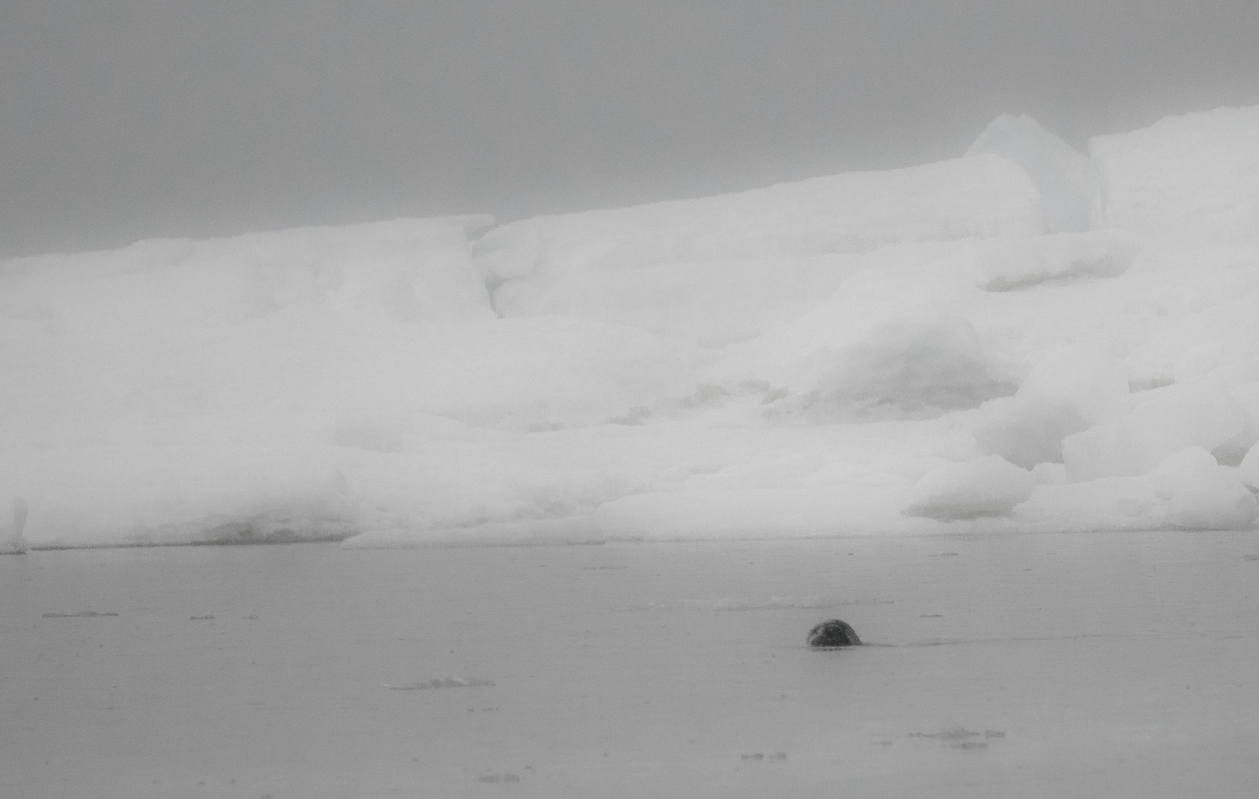 Seal Head.jpg