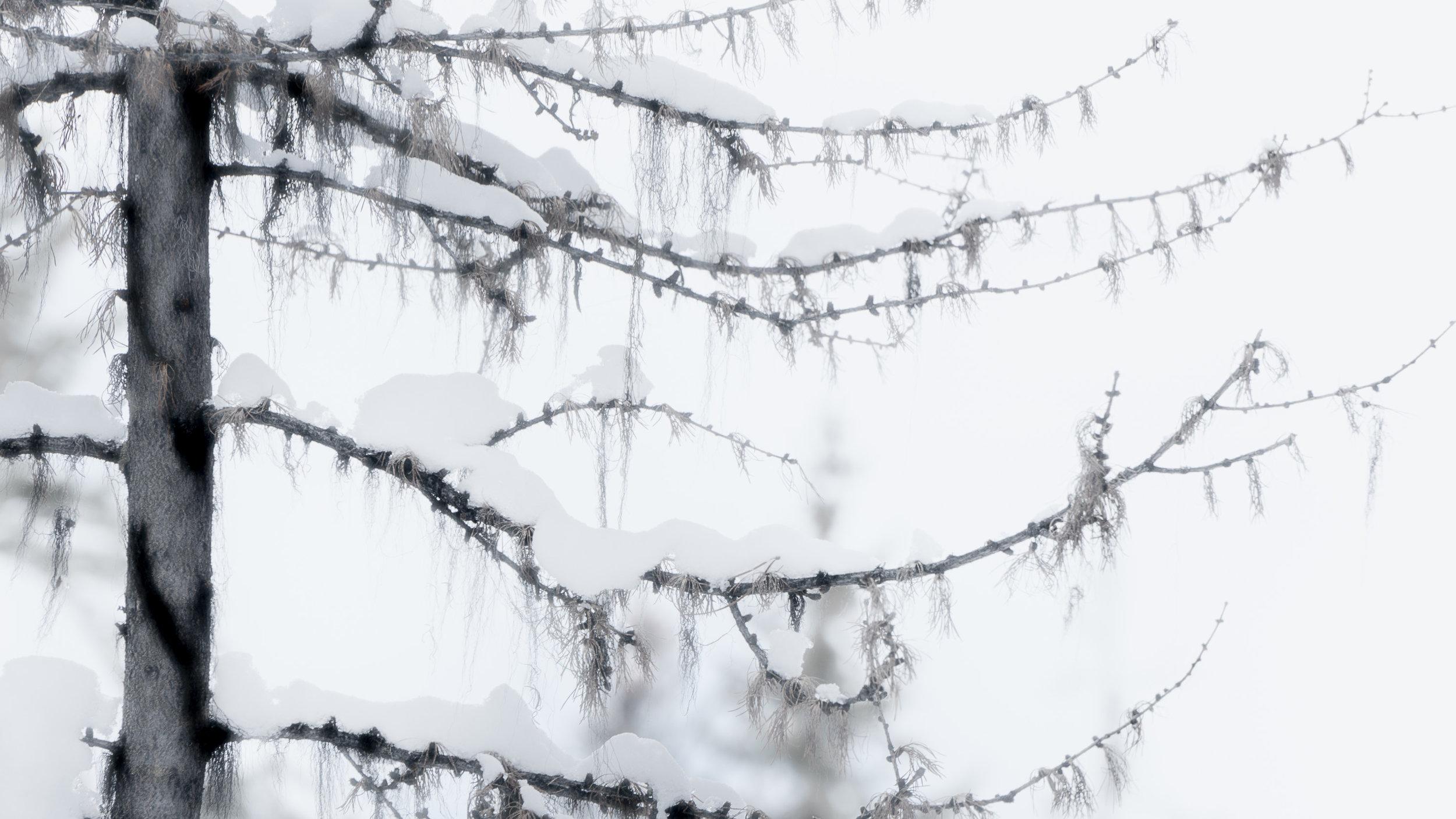Ghost Tree.jpg