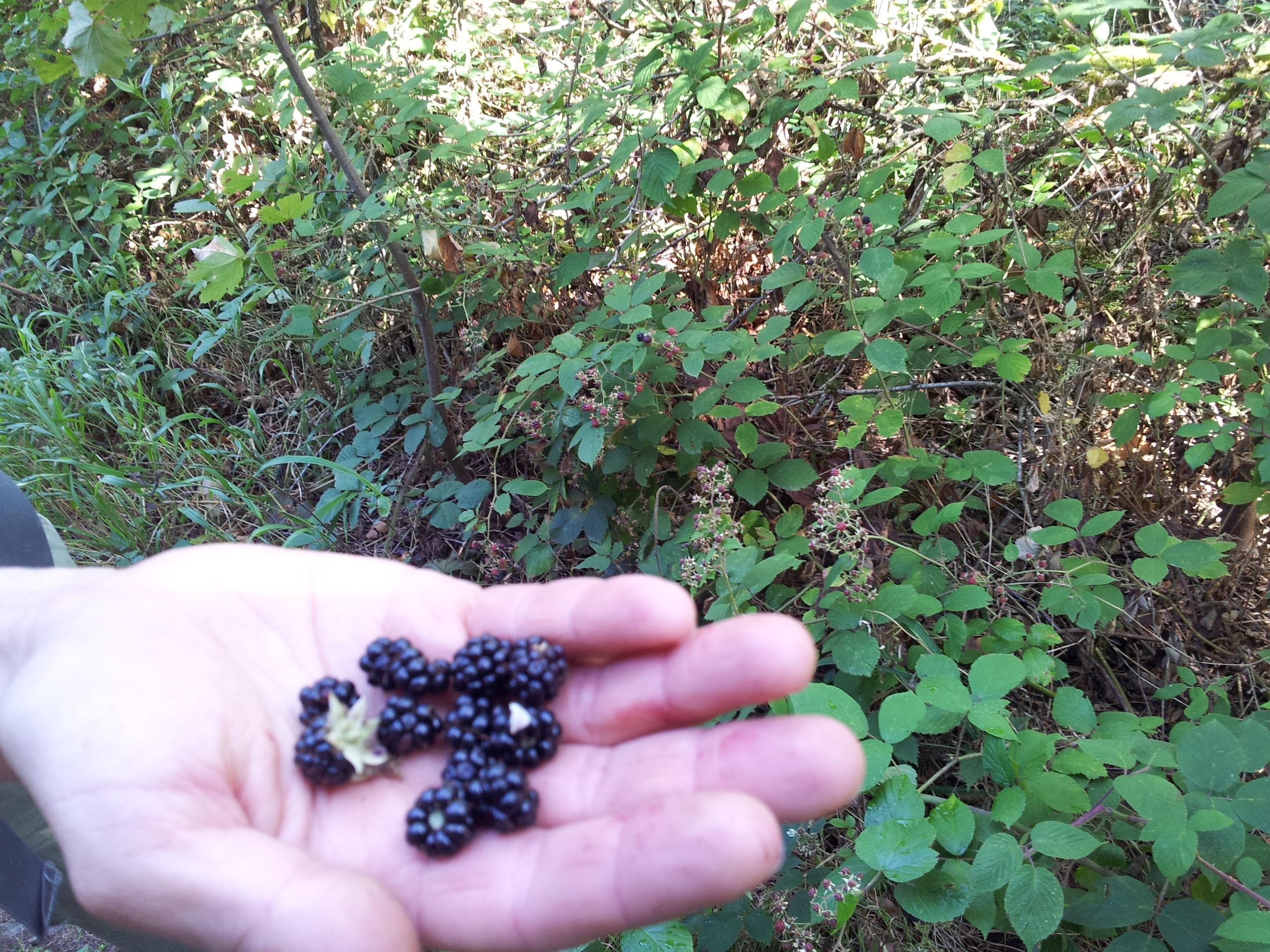 We found sweet, ripe, juicy, blackberries and ate them too
