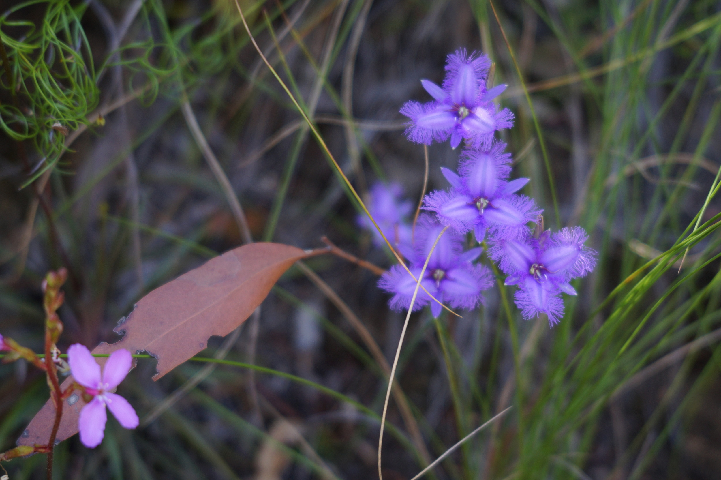 Fringe violets appear in Australia ever so rarely, passionately adored by some and a joy to find.