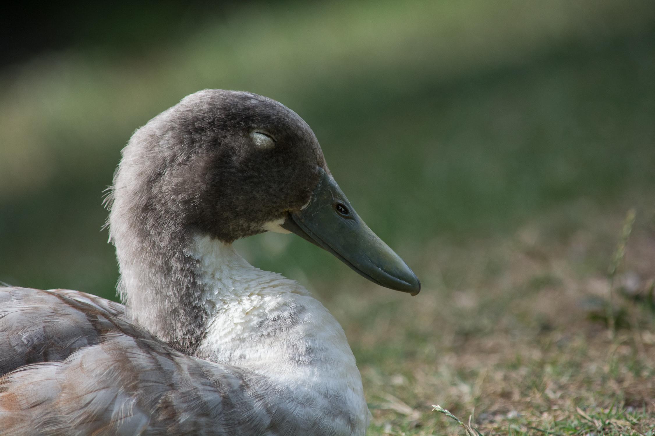 BenMiller_Duck.png
