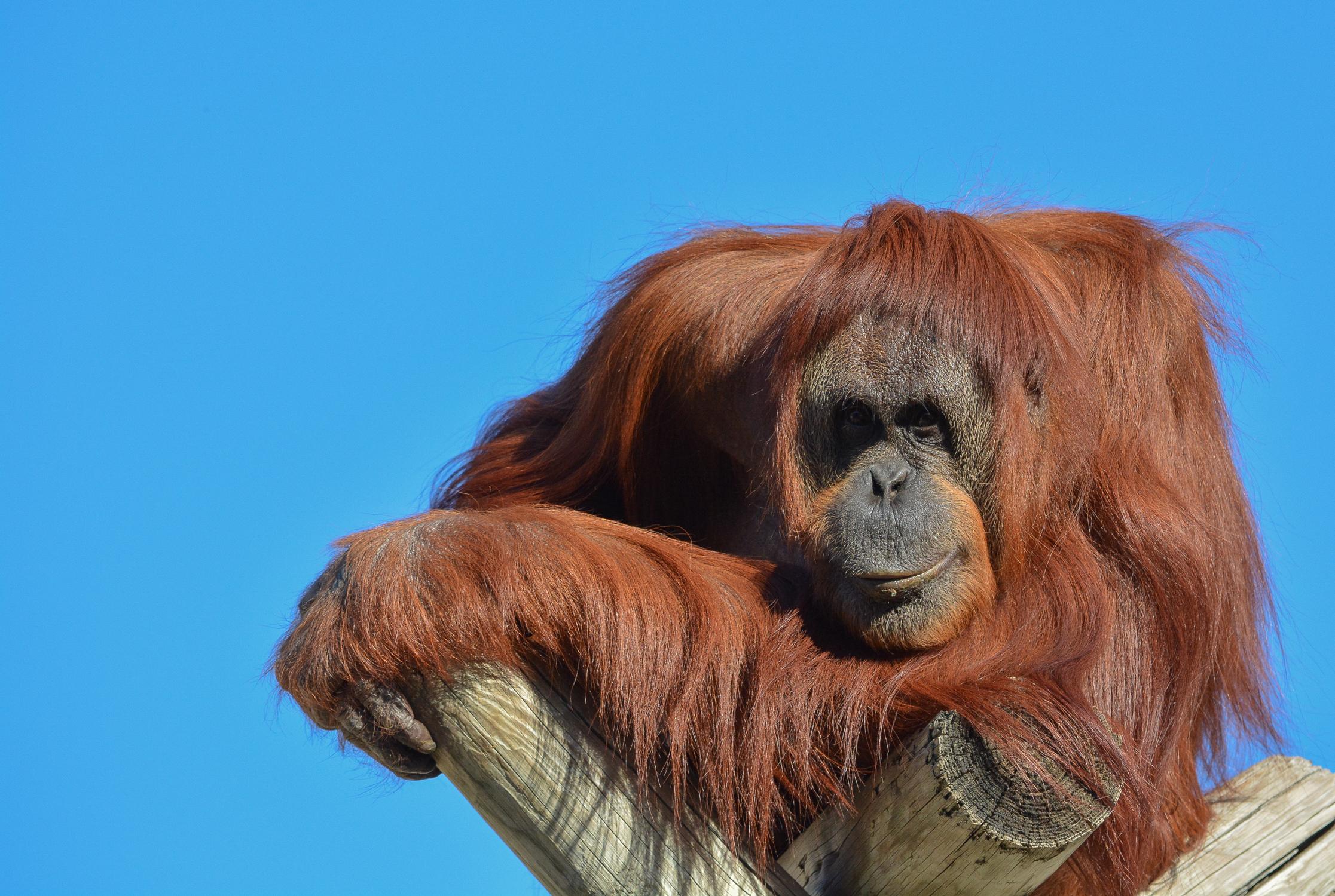 BenMiller_Orangutan.png