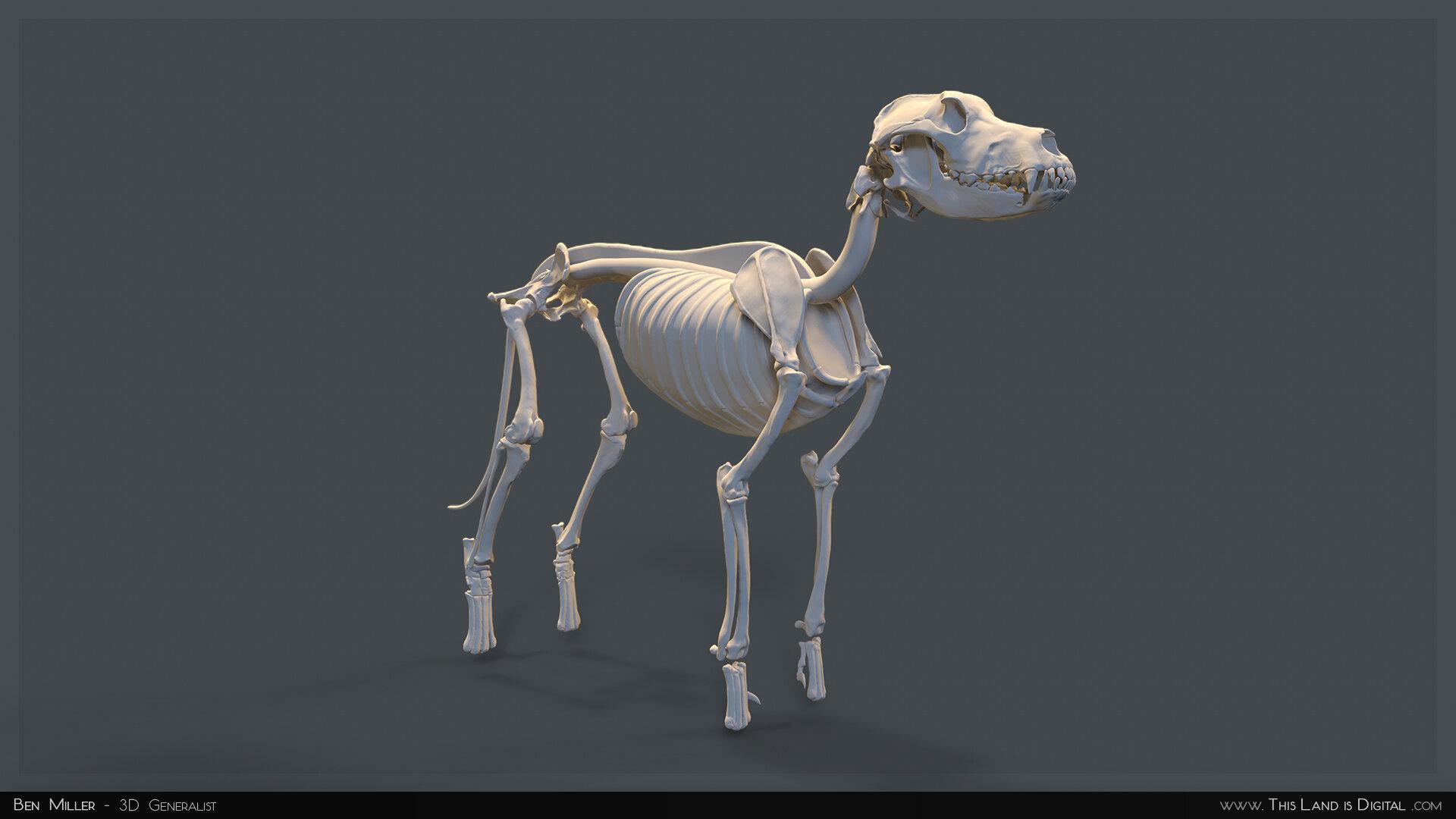 TLiD_BenMiller_AnatomyDogStudy-Skeleton_01.jpg