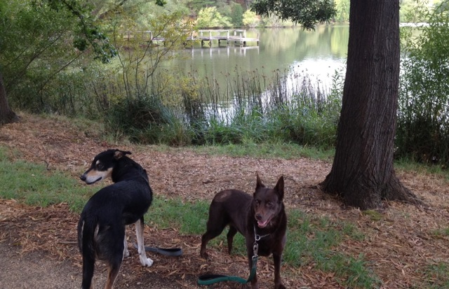 Harry & Tully enjoying a walk by Lake Daylesford at the end of West Street