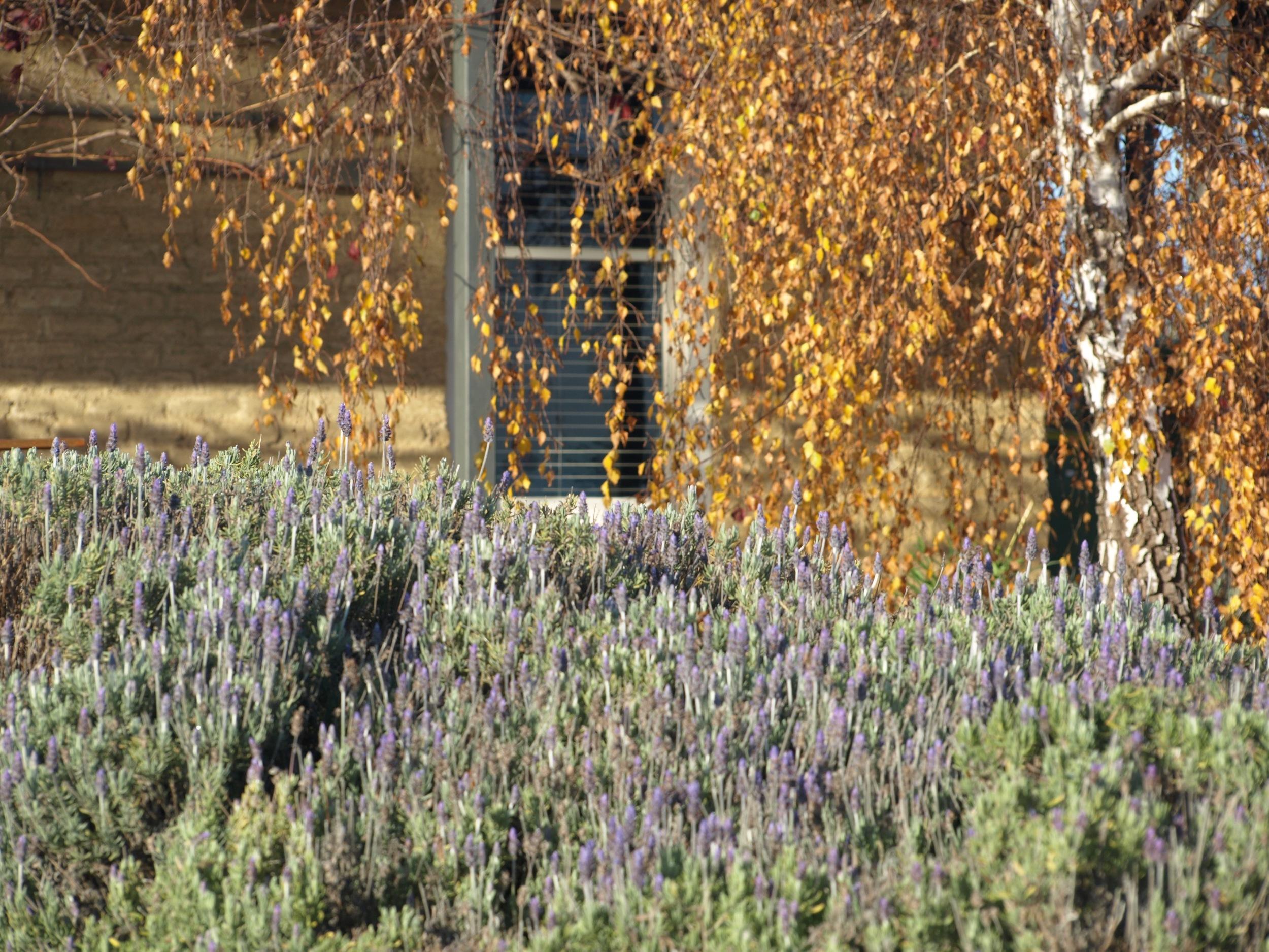 lavendarinfront.jpg