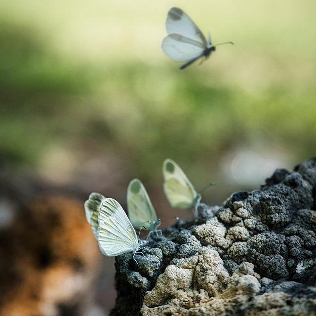Tinkerbell Butterfly  Beluister onze laatste Fotolief podcast: http://www.viewfinder.be/podcast/8-de-hipster-en-tinkerbell-in-beeld-gebracht • • • • • • • #butterfly #vlinder #vlinders #fujifilmxt3 #fujilove #fujifilmxseries #fujifilmbelgium #shareyourfujifilmlegacy #nature #naturephotography #tinkerbell #croatiatravel #focus #insect #insectphotography